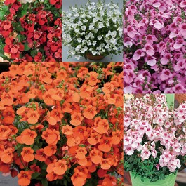 Diascia Divara Collection