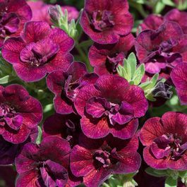 Calibrachoa Double Can Can Wine Red
