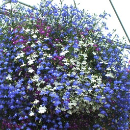 Lobelia California Mixed