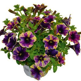 Petunia Chameletunia Purple Splash