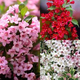 Weigela Dwarf Ornamental Collection