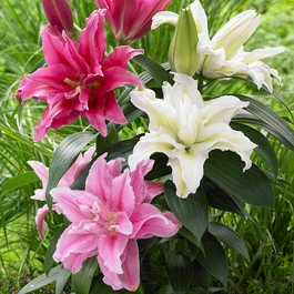 Lily Roselily Collection