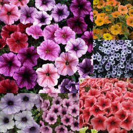 Petunia Veined Mixed