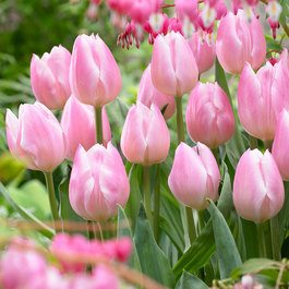 tulip christmas pearl - The Christmas Pearl