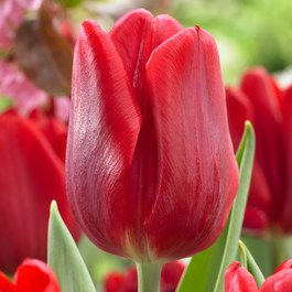 Tulip Red Flag