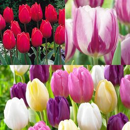Tulip Flag Collection