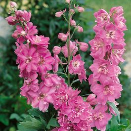 Pacific Giant Delphiniums Astolat (Power-Module)