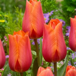Tulip Temple of Beauty