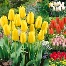 Tulip Fosteriana Collection