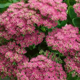 Sedum spectabiles 'Hot Stuff'