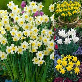 Narcissi Dwarf Early Bird Collection
