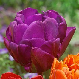 Tulip Purple Princess