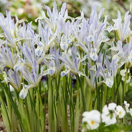 Iris reticulata Painted Lady