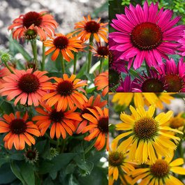 Echinacea Unusual Colour Collection