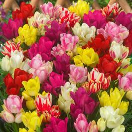 Buy Tulip Compact Multi Flower Mixed J Parker Dutch Bulbs