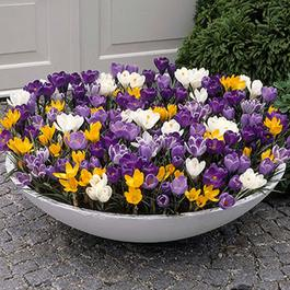 Crocus Large Flowering Mixed