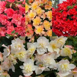 Begonia Northern Lights Mixed