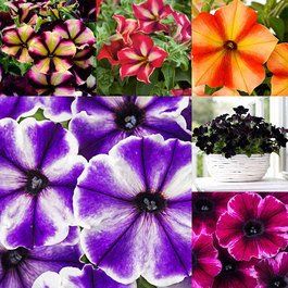 Petunia Crazytunia Collection
