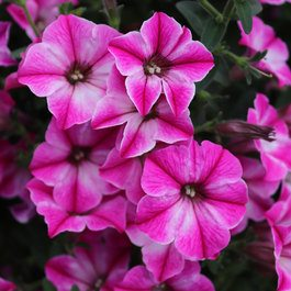 Petunia Shikku Rose Star