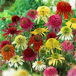 Echinacea Double Flowering Mixed