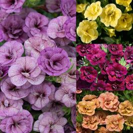 Calibrachoa Unusual Double Can Can Collection