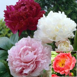 Peony Double Collection