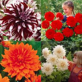 Giant Dinner Plate Dahlia Collection