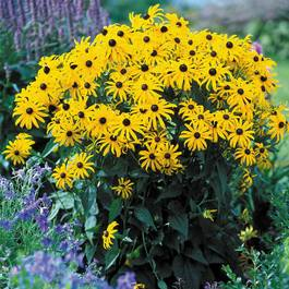 Rudbeckia Goldsturm (First Grade Loose Roots)