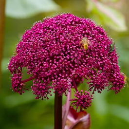 Angelica Gigas (Power-Module)
