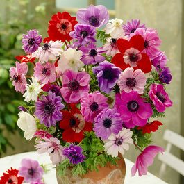 Anemone Single/Double Mixed