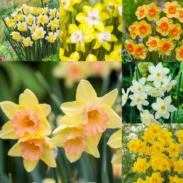Narcissi Jonquilla Collection 10/12