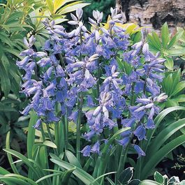 Scilla Hispanica Blue