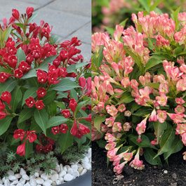 Weigela Dwarf All Summer Collection