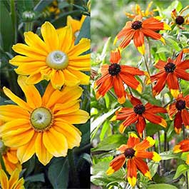 Rudbeckia Prairie Collection