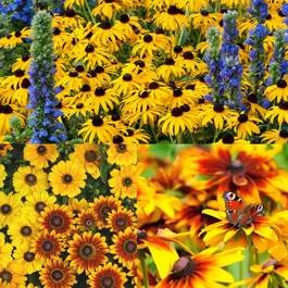 Rudbeckia Mixed