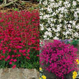 Dianthus deltoides Mixed