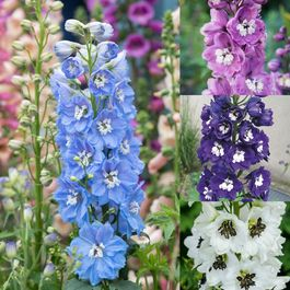 Delphinium Magic Fountains Collection