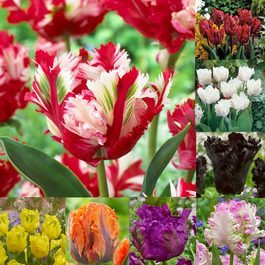 Tulip Parrot Collection 11/12cm