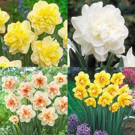 Amazing Double  Daffodil Collection