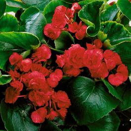 Begonia semperflorens Double Florenzo Red