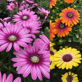 Osteospermum Special Collection