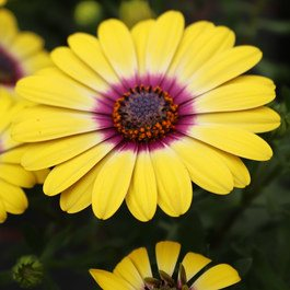 Osteospermum Special Erato Yellow Purple Eye