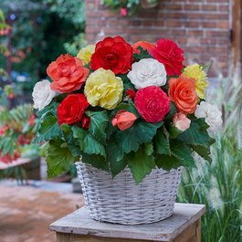 Begonia Mighty Mini Superba Mixed