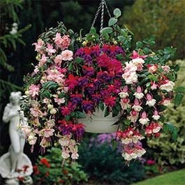 Fuchsia Trailing Collection