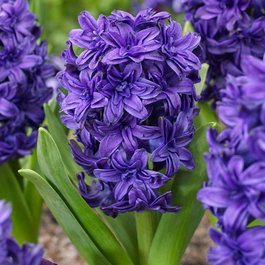 Hyacinth Manhattan 15/16cm