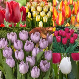 Tulip Single Early Collection