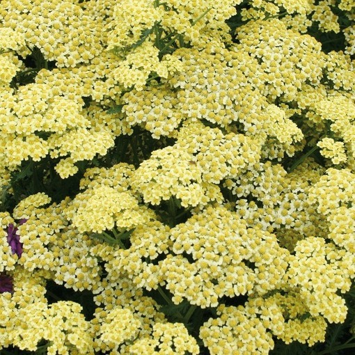 Achillea millefolium Summer Fruits Lemon