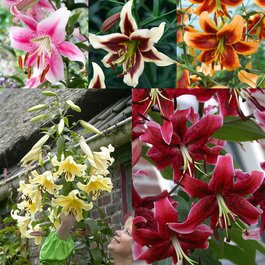Goliath OT Lily Collection