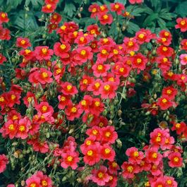 Helianthemum (Sun Rose) 7cm Module Plants