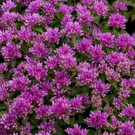 Sedum Spurium Summer Glory (7cm Modules)
